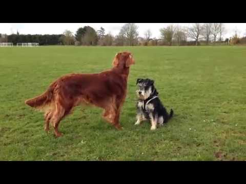 Irish Setter Honey and Schnauzer Monty