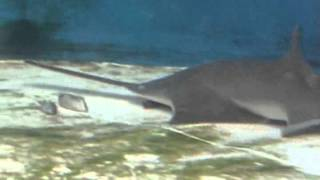 How the sawfish uses its saw