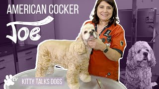 Grooming Joe the American Cocker | Kitty Talks Dogs  TRANSGROOM