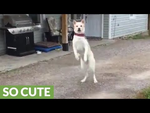 Akita literally jumps for joy when owner comes home