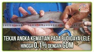 Cara Budidaya Ikan Lele Dengan Angka Kematian Hanya 0 1