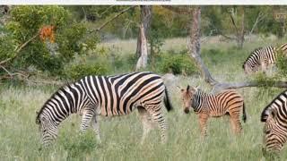Zebry świat zwierząt Afryki Safari 15 .01. 2018 r .
