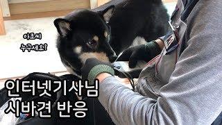 인터넷 설치 기사님을 만난 강아지의 반응 / 시바견 곰…
