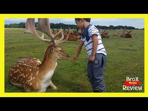 Wild Deers - out in the wild again - Phonex Park Deer