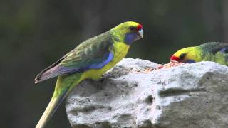 Green Rosella (Mountain Parrot)