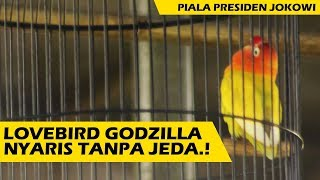 Video Seno Channel: Lovebird Godzilla Nyaris Tanpa Jeda..! Piala Presiden Jokowi. download MP3, 3GP, MP4, WEBM, AVI, FLV Oktober 2018