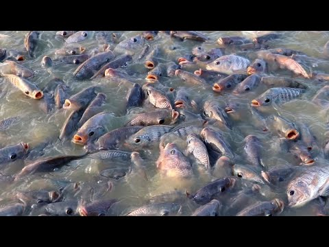 Culture Management Of Monosex Tilapia ||Tilapia Fish Feeding In Fish Farm || Indian Fish Farm Part 7