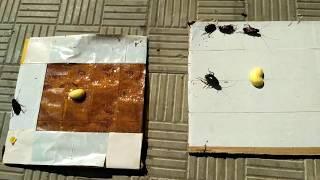 как сделать липкую ловушку для тараканов своими руками