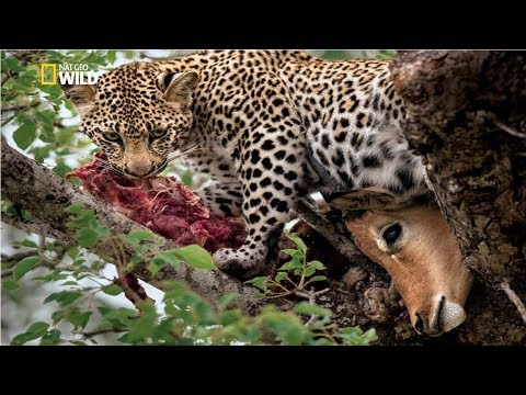 Wild Africa The Revenge of the Leopard [National Geographic Documentary HD 2017]