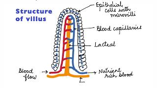 HUMAN PHYSIOLOGY: DIGESTION AND ABSORPTION: VILLI, MICROVILLI AND STRUCTURE OF VILLUS ISC/CBSE 11