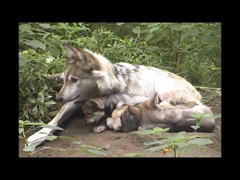 Mexican Gray Wolf Snuggles and Grooms Her 5 Week Old Pups