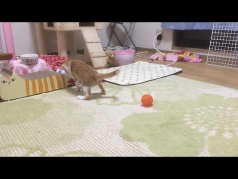 子犬のような子猫ららちゃん Kittens like puppies are named Lala