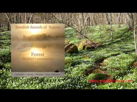 Swedish Sounds of Nature - Forest - Blackbird's morningsong