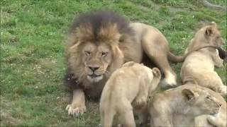 Amazing Male Lion Playing With His Cubs
