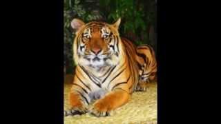 тигр самая большая кошка вмире,если кто не знает,