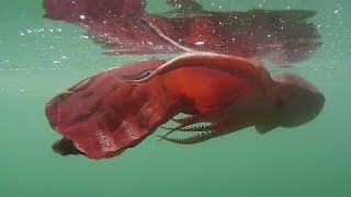 Blanket Octopus in Full Regalia - 1080p