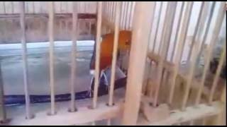 Download Video Burung Anis Merah teler sampai jatuh MP3 3GP MP4