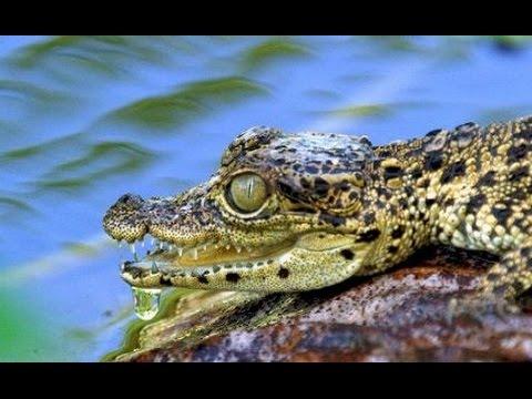 2017 Die Karibik - Die Reise der Krokodile Dokumentarfilm HD