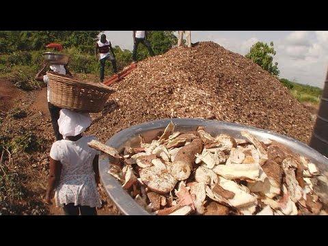 Gana'da bitki atıklarından yeni ürün yetiştiriliyor - futuris