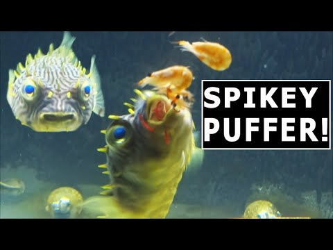 I BOUGHT THE WRONG FISH! DANGEROUS SPIKY FOXXY BOXXY PUFFERFISH!