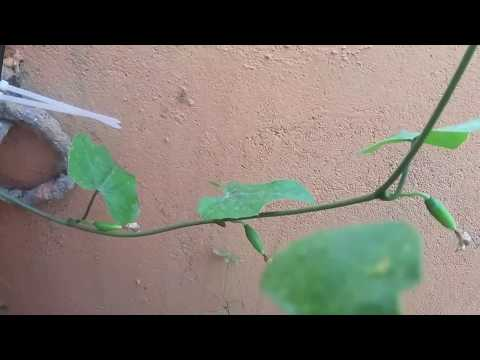 How to Grow Ivy Gourd from Cuttings in 7 Days- Propogating Ivy Stem Cuttings - Kovakkai