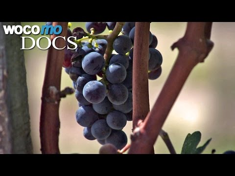 Global warming and wine | Viticulture and Climate Change (HD 1080p)