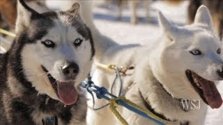 Sled Dog Adventures