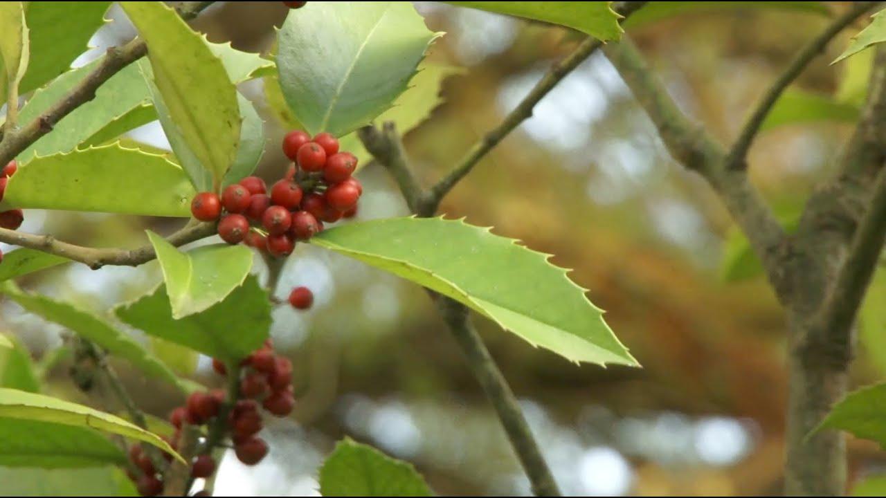Comment Faire Une Pousse De Houx un houx aux feuilles de châtaignier