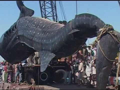 Amazing Giant Whale Shark Hauled From The Sea