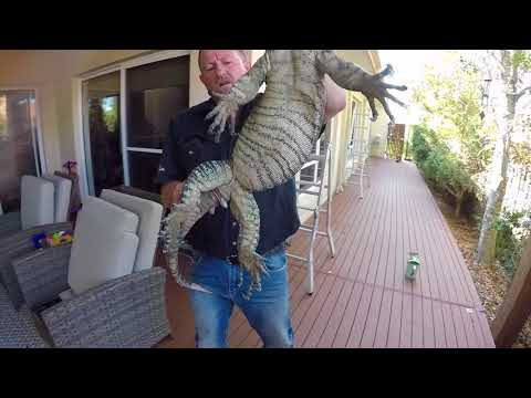 LACE MONITOR IN COOMERA