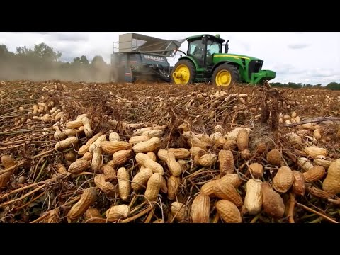 Japan Peanut Growing Harvesting And Processing - Japan Peanut Agriculture Technology Farming