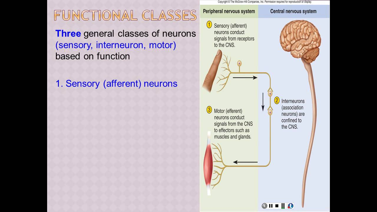 Chapter 12 part 1 The Nervous tissue - YouTube