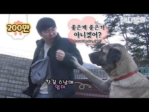 이보게 피디양반 거 애들보는데 주먹은 풀고 얘기하지ㅣWhy did the mama Kangal dog tell the producer to release his fist?