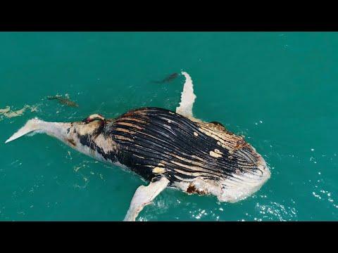 Drone Spies Crocodile Eating Dead Whale Alongside Tiger