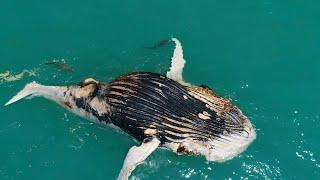 Shark And Crocodile Attack Whale Carcass