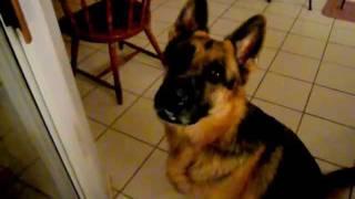 German Shepherd Talking - Let Me Out!