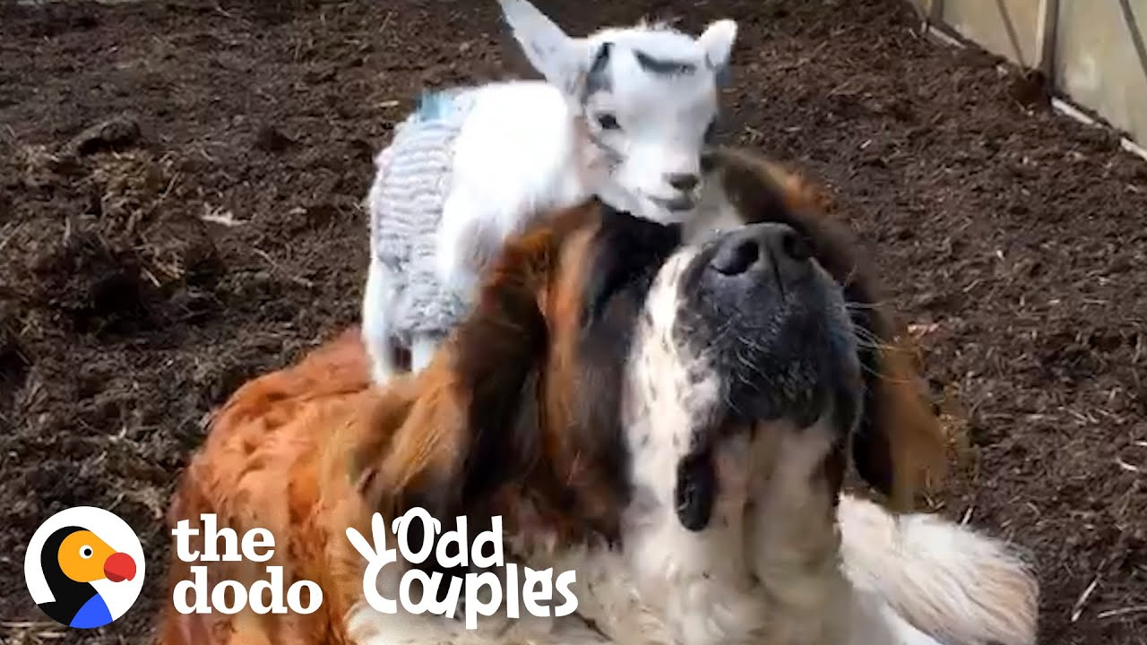 This Giant St. Bernard Learns To Love Her Annoying Little Goat Brother | The Dodo Odd Couples