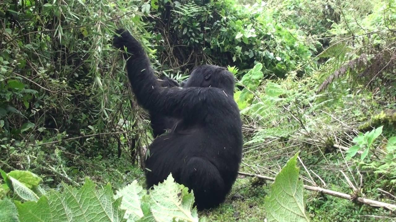 Огляд букмекерської контори Gorilla