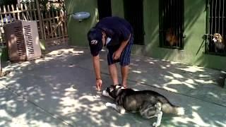Smart Siberian Husky Indonesia
