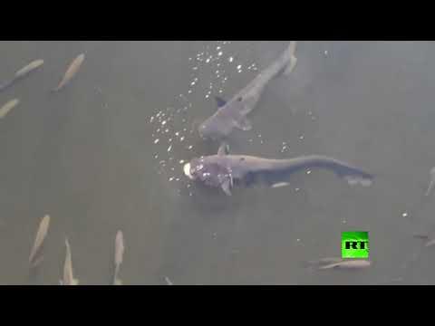أسماك عملاقة معدلة وراثيا تثير الرعب في تشيرنوبل  - نشر قبل 8 ساعة