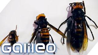 Japanische Riesenhornissen | Galileo | ProSieben