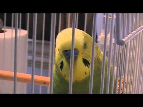 GREATEST TALKING BUDGIE BIRD GRAYSON SUPERBIRD!