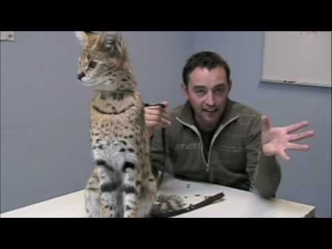 Jarod Miller with Keenya, the African Serval cat