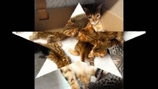 Бенгальские котята Минск Бенгалы Кошка Кот