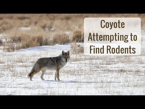 Wonderful Wyoming Wildlife - Coyote Attempting to Find Rodents