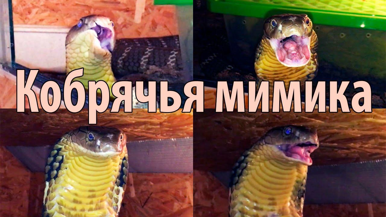 Королевская кобра и её удивительная мимика - YouTube
