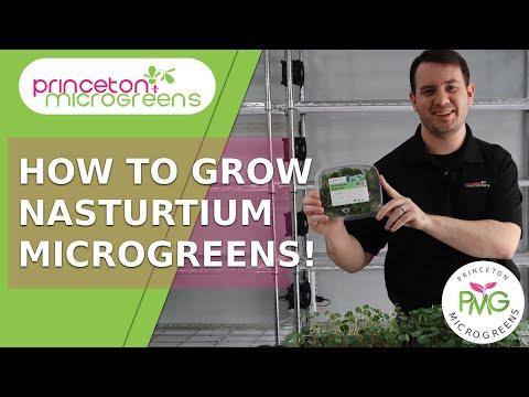 how-to-grow-nasturtium-microgreens!