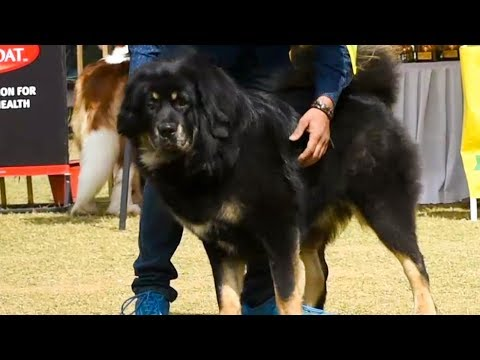 Interview with Tibetan Mastiff dog breeder