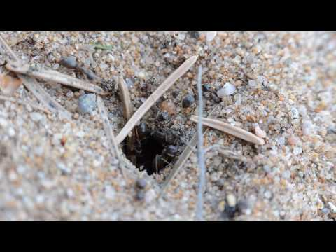 Lasius Niger excavating sand out of their nest