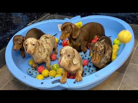 Funniest dachshund puppies videos compilation | Try not to laugh pet videos
